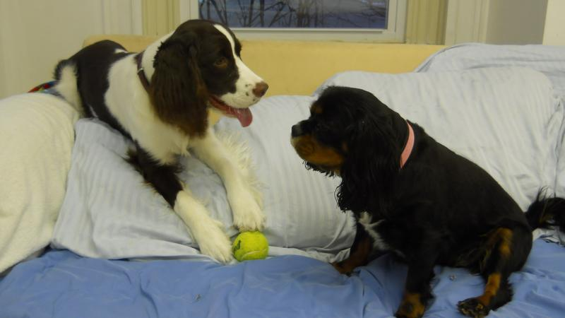Two Dogs Playing With Tennis Ball On Sofa